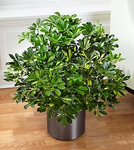 The Schefflera Arboricola